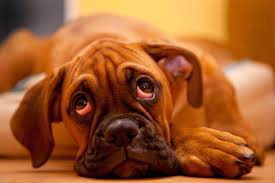 boxer dog health questions all about skin tags on dogs plus lipomas and other lumps
