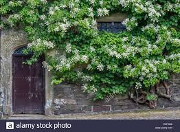 cotehele saltash cornwall uk a huge climbing hydrangea