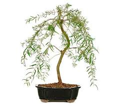 Home Decor Tree 80 Best Home Decor Ideas Bonsai Trees For Sale Images On
