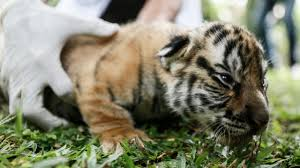 tiger cubs born at cincinnati zoo genetically important rejected