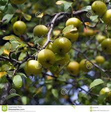 american crab apples on the tree royalty free stock image