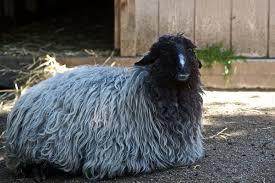 karakul sheep wikipedia