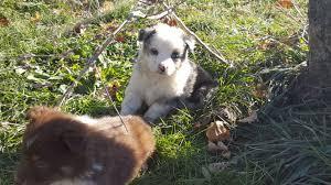 australian shepherd 7 weeks 7 weeks old u2013 very cute and fun stonger miniature and standard