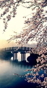 Cherry Blossom Tree Facts by Best 20 Cherry Blossom Tree Ideas On Pinterest Cherry Blossom