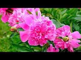 peonies flowers how to grow peonies flowers
