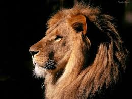 male lion wallpapers leon perfil animals pinterest tatto lions and animal