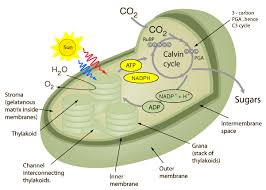 The Light Reactions Of Photosynthesis Use And Produce Systems Of Photosynthesis