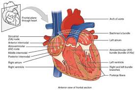 Diagram Heart Anatomy Phases Of The Cardiac Cycle When The Heart Beats