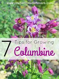 tips for growing columbine in your flower garden columbine is a