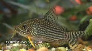 the top 5 peaceful freshwater aquarium community fish hd youtube