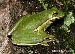 tennessee watchable wildlife green treefrog