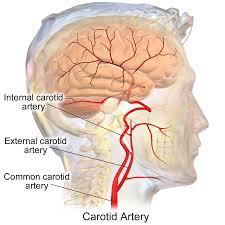 Base Of The Skull Anatomy Internal Carotid Artery Wikipedia
