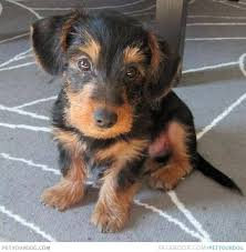 short haired dorkie mixes if you love dachshunds as much as we do then you re sure to love