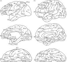 brain anatomy coloring book mapping brains without coordinates philosophical transactions of
