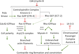 nine unanswered questions about cytokinesis jcb