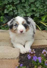 australian shepherd breeders near me rfcc australian shepherds home facebook