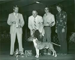 american pitbull terrier dalmatian mix american staffordshire terrier history u0026 training temperament