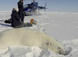 breakthrough polar bear witness science friday