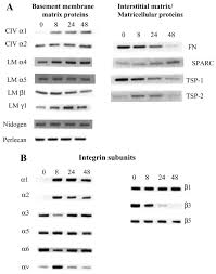 differential gene expression during capillary morphogenesis in 3d