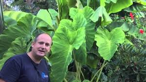 the fall gardening backyard tour and plans for the winter bananas