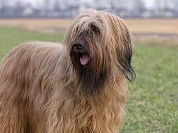 belgian sheepdog hypoallergenic herding dog breeds herding dog list
