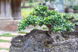 bonsai tree on ceramic pot in bonsai garden small bonsai for