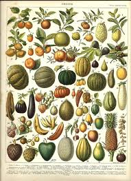 tropical fruit delivery fruits 1 vintage color illustration 1904