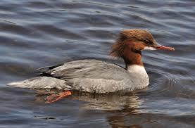 birds of the world sea ducks