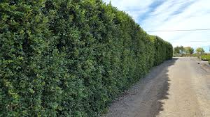 best australian native hedge plants syzygium australe u0027select form u0027 alpine nurseries