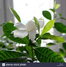 beautiful gardenia jasminoides flower in the room cultivating