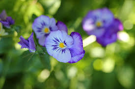 edible blue flowers pretty to eat by the gardening