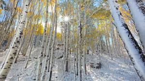 birch tree wallpapers wallpaper wiki