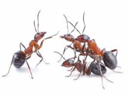 Ants In The Bathroom by 5 Common Types Of Ants In Maryland And How To Keep Them Out Of