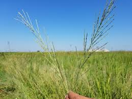 programs natural resources weeds and uc rice blog agriculture and natural resources blogs