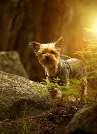 affenpinscher vs yorkshire terrier silky terrier dog breed information pictures characteristics
