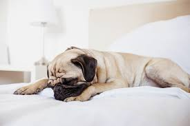pug dog breed information pictures characteristics u0026 facts u2013 dogtime