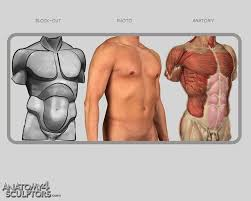 Male Anatomy Video 41 Best Anatomy Torso Images On Pinterest Anatomy Reference
