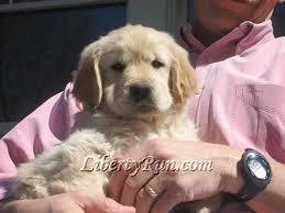 Comfort Retrievers For Adoption Liberty Run Golden Retrievers Breeders Of Healthy Intelligent