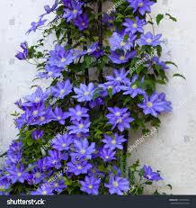 beautiful clematis flower vine on trellis stock photo 101532364
