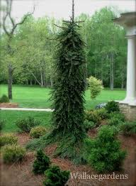 163 best conifers ornamentals groundcovers images on