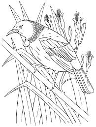 zealand tui bird coloring picture