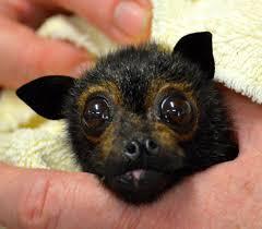 similiar cute fruit bat face keywords bats pinterest bats