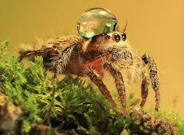 Cute Spider Meme - jumping spiders wearing water drops as fancy hats bored panda