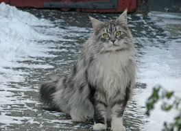 Cat In Bathtub 9 Cat Breeds That Love Water U2013 Adventure Cats