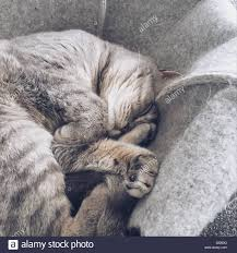 sleeping on short hair british shorthair silver tabby cat sleeping on bed stock photo