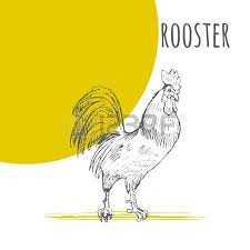 rooster vector isolated hand drawn pencil sketch rooster