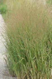 how to plant native grasses week 2 switchgrass panicum virgatum this native grass is very