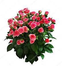 big bouquet of roses big bouquet of pink roses stock photo miiisha 2770287