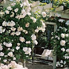 sally holmes climbing rose large plants plants and gardens