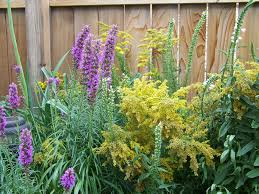 deer resistant native plants see 25 native ohio perennials for your garden vibrant color and